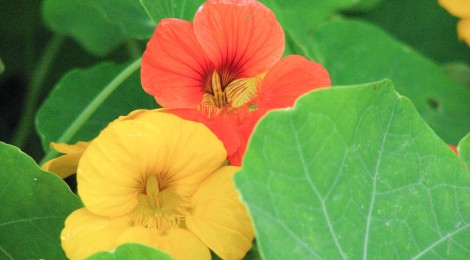 An orange and a yellow nasturtium on a background of green leaves.